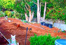 Brandon's Garden in Leucadia. Bessie and Lulu wander in the soil looking for grubs, mealworms, potato bugs and other critters. This small patch produces a tremendous amount of vegetables.